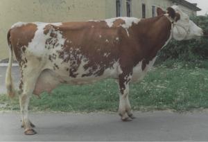 cow_cr
